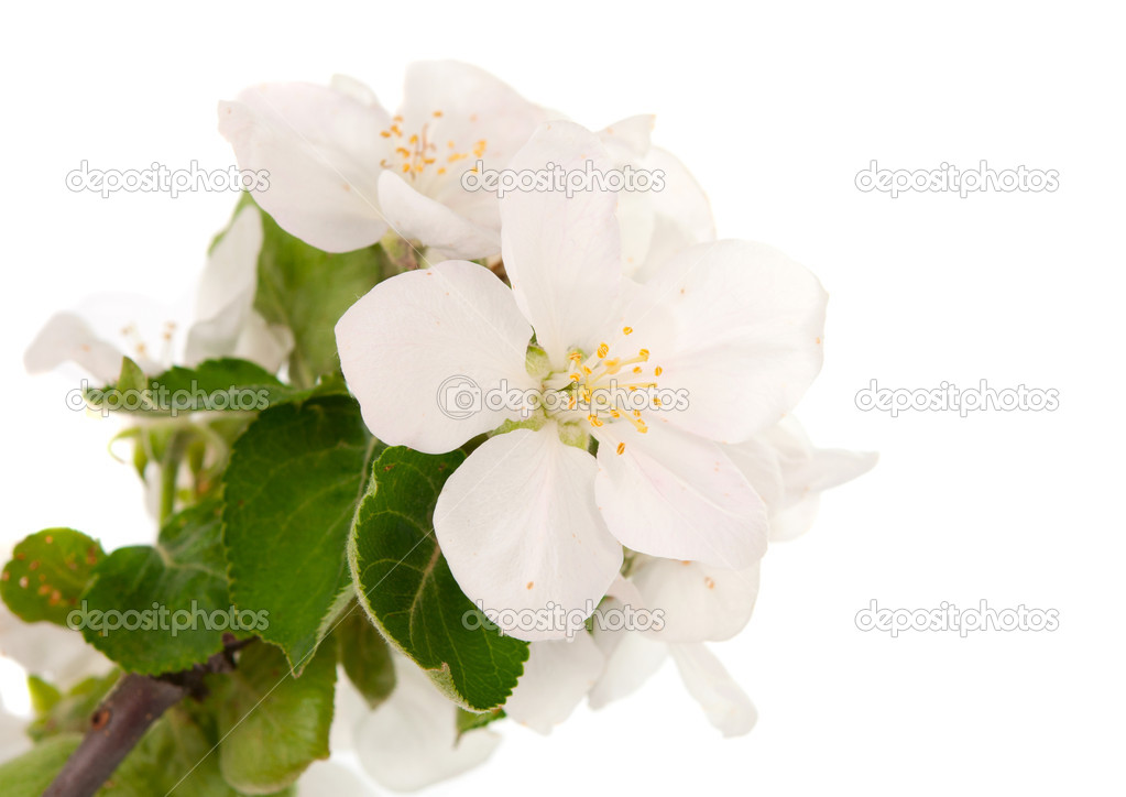 Apple blossom isolated on white — Stock Photo #10382107