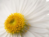 Background of daisies — Stock Photo