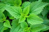 Zelená kopřiva dvoudomá — Stock fotografie