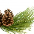 Branch with pine cone — Stockfoto #8014533