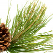 Branch with pine cone — Stockfoto