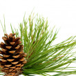 Branch with pine cone — Stock fotografie