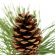 Branch with pine cone — Stock Photo