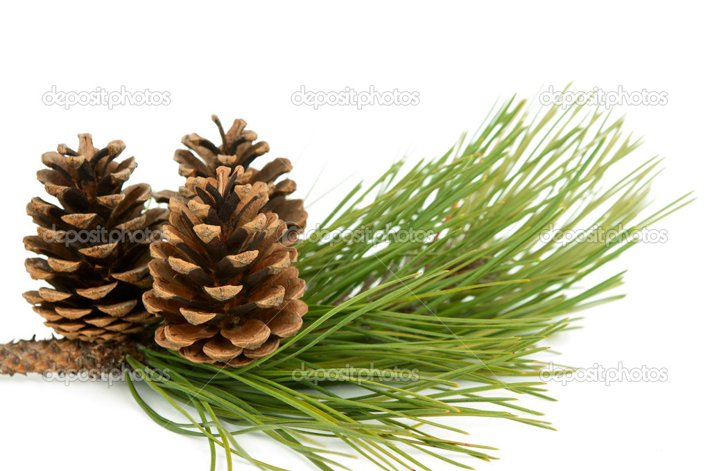 Branch with pine cone on white background — Stock Photo #8014533