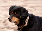 Backyard dog — Стоковое фото