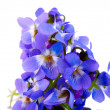Violet isolated - Foto Stock