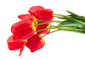 Red tulips isolated — Stock Photo