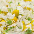 Medical chamomile — Stock Photo #8728430