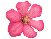Pink flower isolated — Stock Photo
