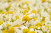 Medical chamomile — Stock Photo