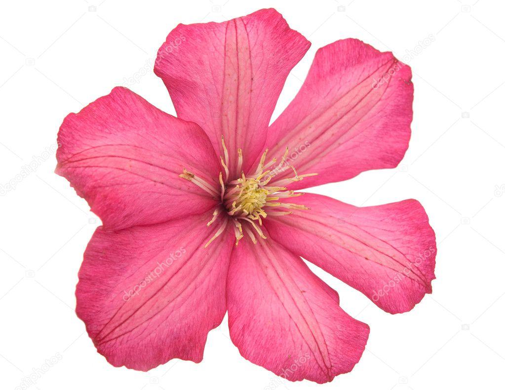 Большой розовый цветок фото