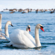 Swans — Stock Photo #9164126