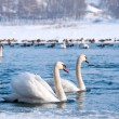 Swans — Stock Photo #9164173