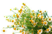 Bouquet of daisies field — Stock Photo