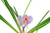 Crocus flower isolated — Stock Photo