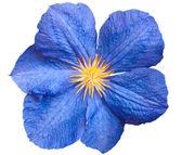 Blue flower isolated — Stock Photo