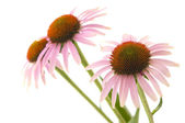 Echinacea flowers isolated — Stock Photo