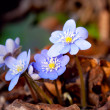 Hepatica nobilis — Photo