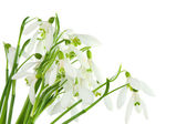 Bunch of snowdrops isolated — Stock Photo