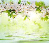 Fleurs de printemps blanc sur une branche d'arbre — Photo