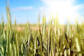 Wheat over blue sky — Stock Photo