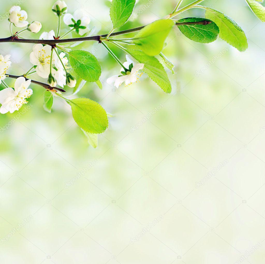 Фотообои Белые весенние цветы на ветке дерева