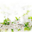 White spring flowers on a tree branch — Stock Photo #9720301