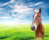 Red horse in the field over cloudy blue sky — Stock Photo