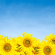Sunflowers over blue sky in summer — Stock Photo #9885339