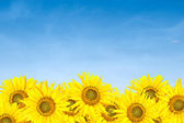 Sunflowers over blue sky in summer — Stock Photo