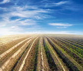 Cultivated field over blue sky in summer — Stock Photo