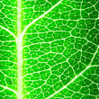Green leaf — Stock Photo #8133237