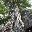 Ficus Strangulosa at Cambodia -  