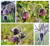 Pasque-flowers. — Stock Photo