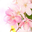 Sakura flowers blooming — Stock Photo #10238592