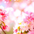 Sakura flowers blooming — Stock Photo #10238594