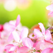 Sakura flowers blooming - Stock Photo