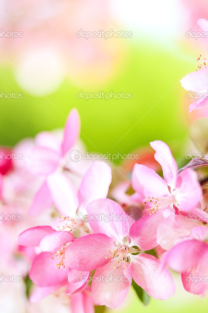 Sakura flowers blooming. Beautiful pink cherry blossom  Stock Photo #10238613
