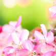 sakura flowers blooming — Stock Photo #10344607