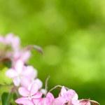 Sakura flowers blooming — Stock Photo