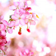 sakura flowers blooming — Stock Photo #10344610
