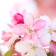 sakura flowers blooming — Stock Photo #10344613