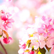 sakura flowers blooming — Stock Photo #10344615