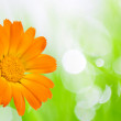 Orange flower — Stock Photo #9932248