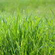 Green spring grass, panorama — Stock Photo