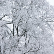 Winter tree branch under snow — Stock Photo
