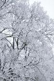 Winter tree branch under snow — Stock Photo