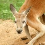 Red Kangaroo looking at camera — Stock Photo
