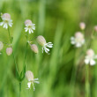 Beautiful dewy flowers of the Bladder Campion — Stock Photo