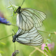 Stock Photo: Mating pair of black-veined white butterflies (Aporicrataegi